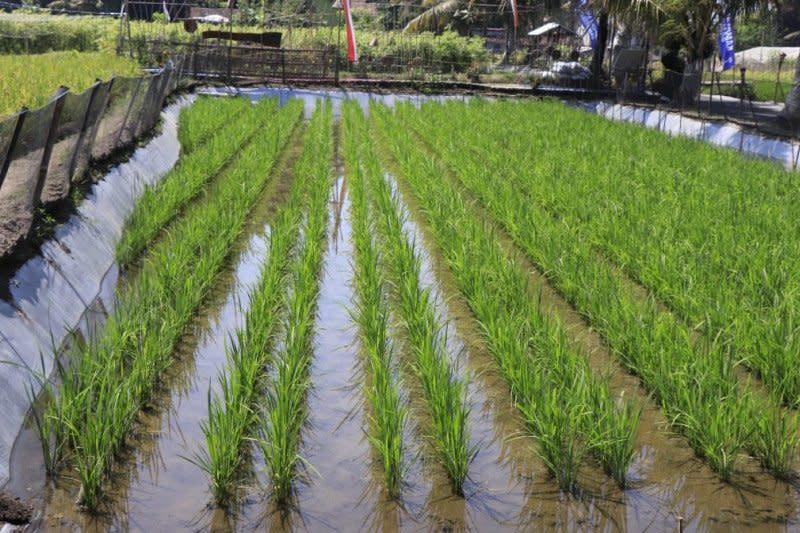KKP: Budi daya ikan sistem Minapadi bisa jadi lokasi wisata menarik