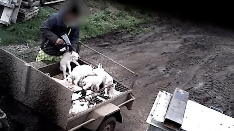 A man pulls a baby goat up from the back of a trailer with other baby goats and points a bolt gun to its head.