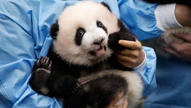 Anak panda raksasa yang baru lahir