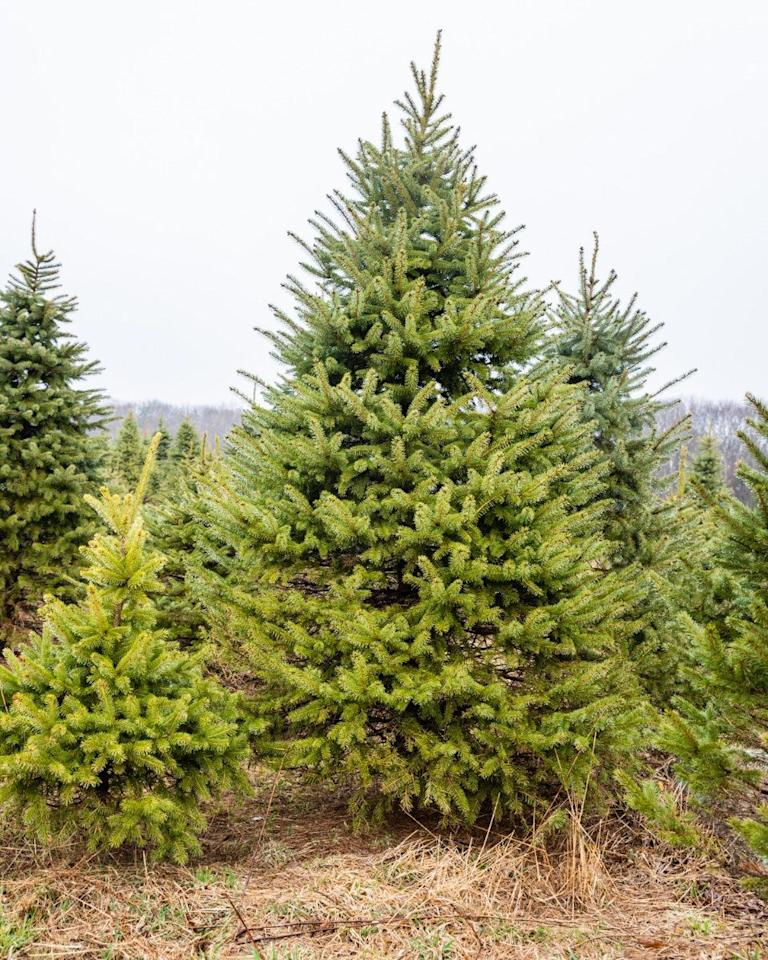 """<p>You'll have no trouble finding the perfect evergreen at <a href=""""http://www.bigjohnleydens.net/"""" target=""""_blank"""">Big John Leyden's Tree Farm</a>. The reason? The land is home to 100,000 Christmas trees. When you've picked yours, they'll cut it for you and carefully put it on your car so you can ensure no branches get broken.</p><p><a class=""""body-btn-link"""" href=""""https://go.redirectingat.com?id=74968X1596630&url=https%3A%2F%2Fwww.tripadvisor.com%2FTourism-g54123-West_Greenwich_South_County_Rhode_Island-Vacations.html&sref=https%3A%2F%2Fwww.countryliving.com%2Flife%2Fg24108155%2Fchristmas-tree-farms-near-me%2F"""" target=""""_blank"""">PLAN YOUR TRIP</a></p>"""