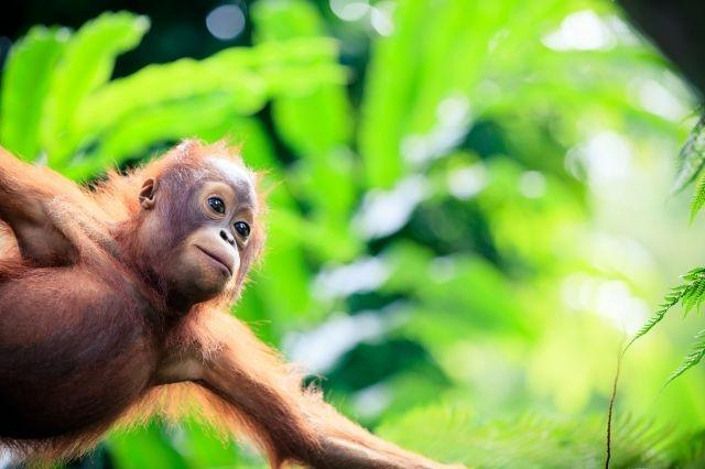 Indonesia covers up to protect orangutans from virus threat