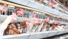 日本禽流感疫情蔓延 茨城縣養雞場要撲殺84萬隻雞