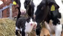 貓咪亂入農場「交朋友」 網笑:我只看到三隻乳牛!