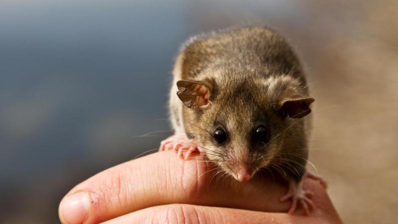 Don't interrupt moths, ice possum warns
