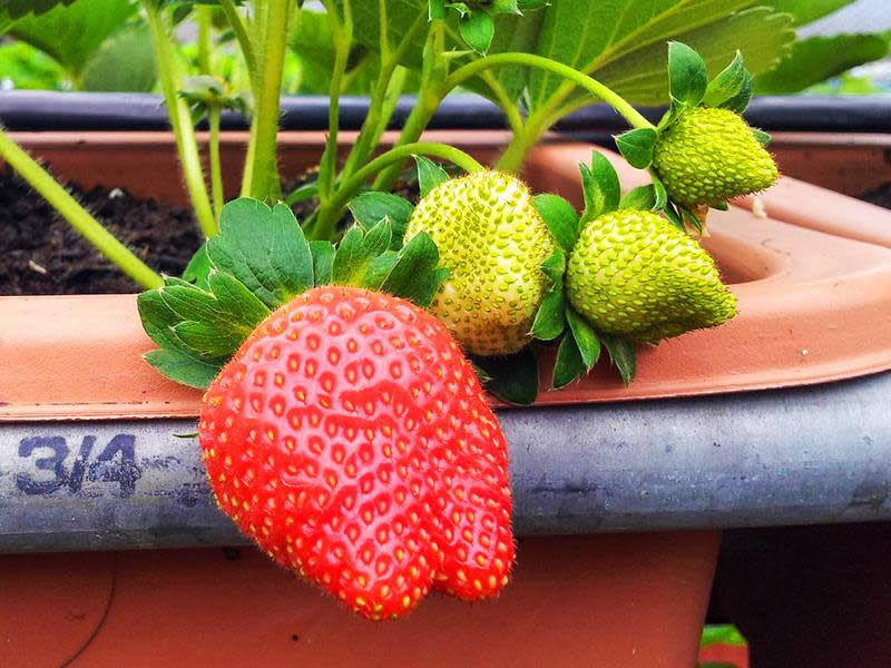 內湖草莓品種特色