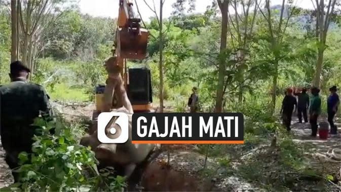 VIDEO:  Bangkai Gajah Jantan Ditemukan Dengan Luka Tembak di Kepala