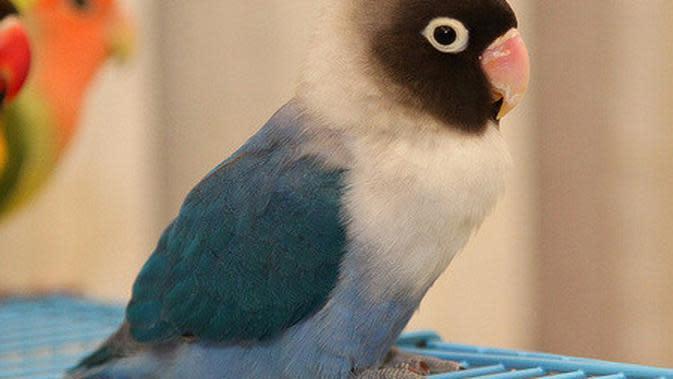 Lovebird Cobalt / Sumber: upload.wikimedia.org