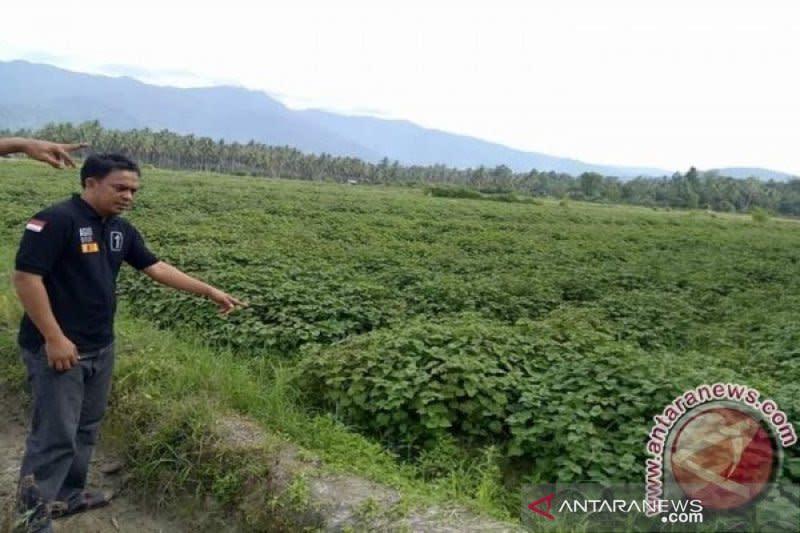 Harga minyak atsiri tembus Rp500.000, petani tertarik budi daya nilam