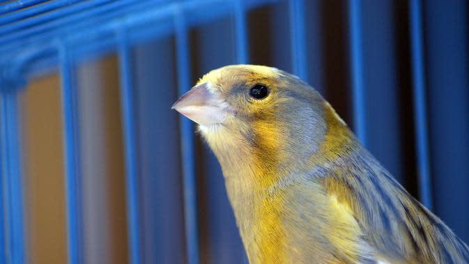 Ilustrasi Burung Kenari (Sumber: Pixabay)