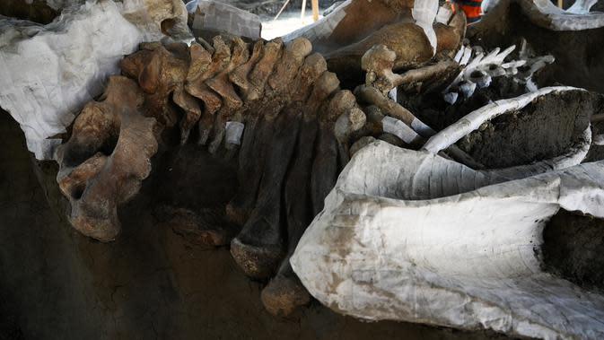 Penampakan sebagian kerangka mammoth yang ditemukan di Pangkalan Militer Santa Lucia di Kotamadya Zumpango, Meksiko (8/9/2020). Penemuan kerangka tersebut berada di lokasi proyek pembangunan bandara baru yang dikelola Pemerintah Meksiko di Mexico City. (AFP/Rodrigo Arangua)