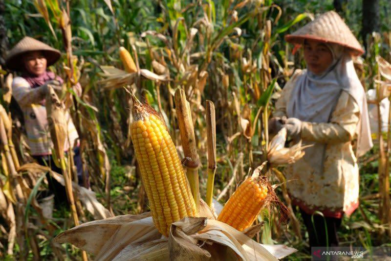 Tepung jagung olahan asal Cilegon tembus pasar Israel