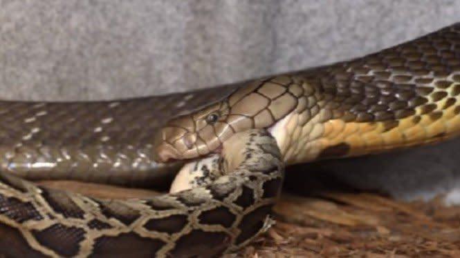 Ular King Kobra Jadi Agresif Saat Melihat Makan Makanan Besar