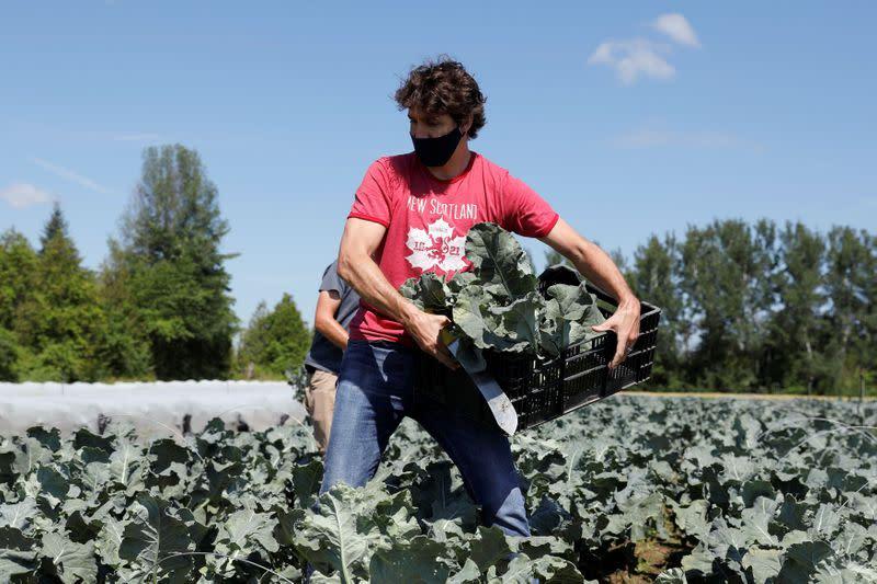 Canada's PM Trudeau harvests broccoli on Canada Day in Ottawa