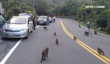 獼猴擾交通!陽管處組驅猴隊漆彈趕猴