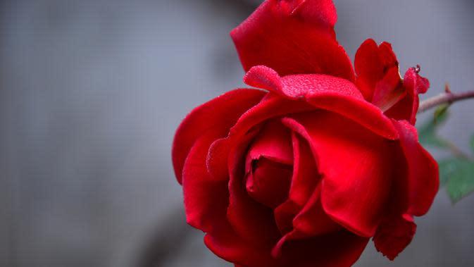 Gambar Bunga Mawar Merah (Sumber: Pixabay)