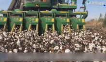 川普政府再出招 宣布禁止新疆棉進口