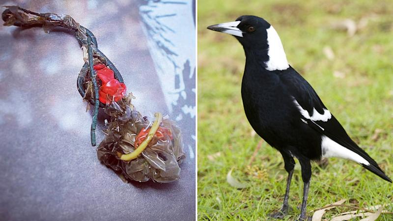 The large clump of plastic that was passed by the magpie (left).