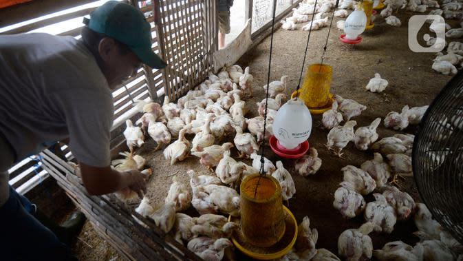 Pekerja memberi pakan ternak ayam potong yang sudah siap dijual di Kawasan Gunung Sindur, Kabupaten Bogor, Jawa Barat, Selasa (22/09/2020). Harga ayam potong di sana dijual Rp 24 ribu per kilogram, di mana saat masa pandemi harganya mengalami naik turun di pasaran. (merdeka.com/Dwi Narwoko)