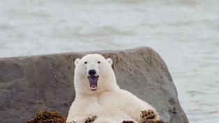 Polar bear fur isn't white