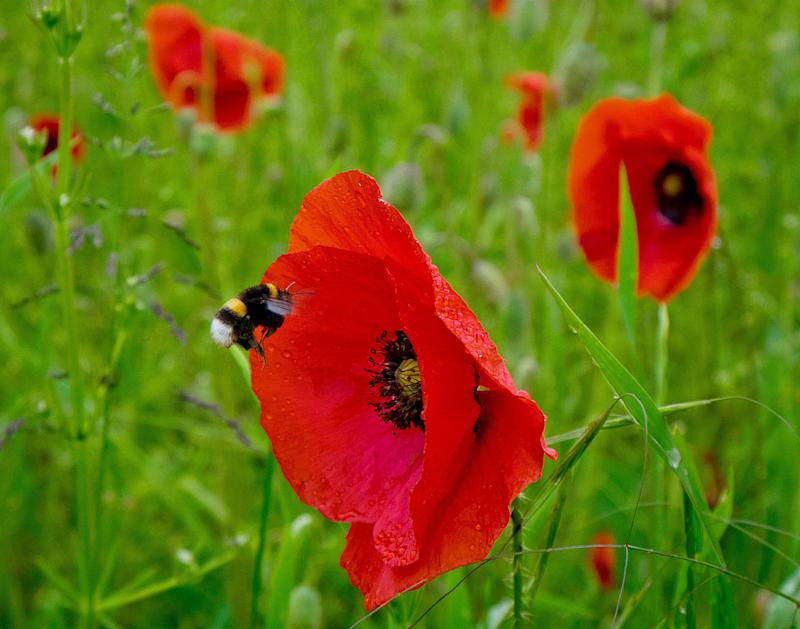 A bumblebee flies to a poppy flower in Frankfurt, Germany, Monday, May 27, 2019. (AP Photo/Michael Probst)