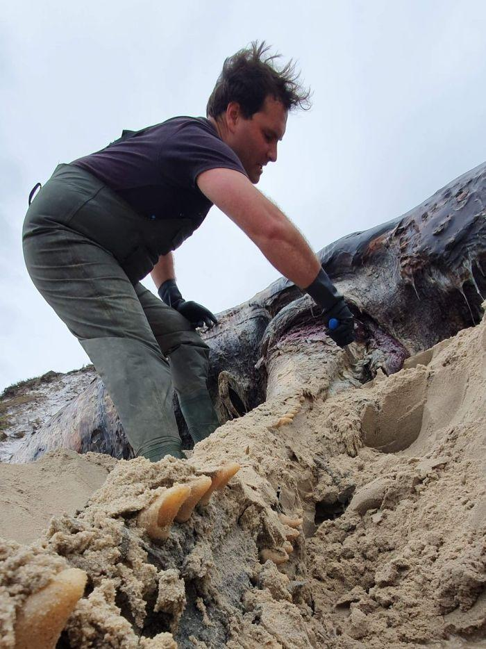 A man knee deep in sand with hands on a whale carcass