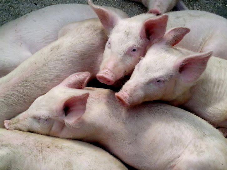 非洲豬瘟與一般豬瘟有何分別?