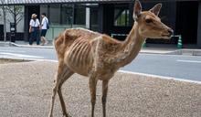 遊客驟減、沒鹿餅可吃!日本奈良鹿群異常消瘦
