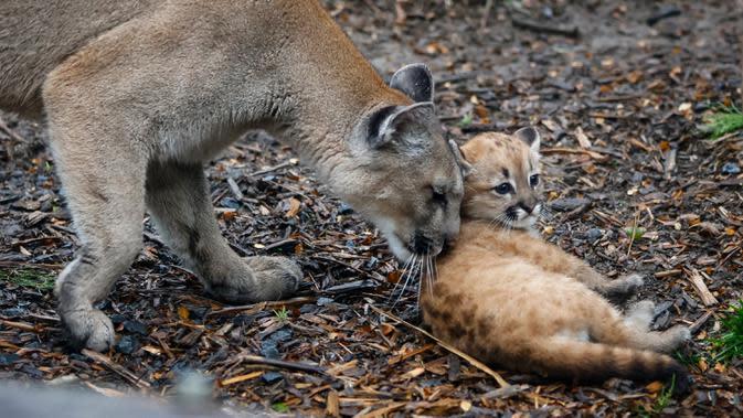Seekor bayi puma berusia satu setengah bulan bernama Emy terlihat di kandangnya di Zoo de Vincennes, dekat Paris pada Selasa (13/10/2020). Emy merupakan puma pertama yang lahir di Zoo de Vincennes pada 21 Agustus lalu. (Thomas SAMSON / AFP)