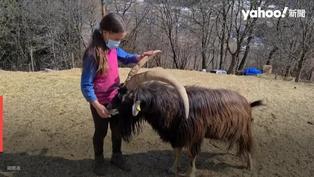 Yahoo精選暖新聞(3/22-3/28):阿爾卑斯山的少女重現!女孩與牧場羊咩咩一起上課