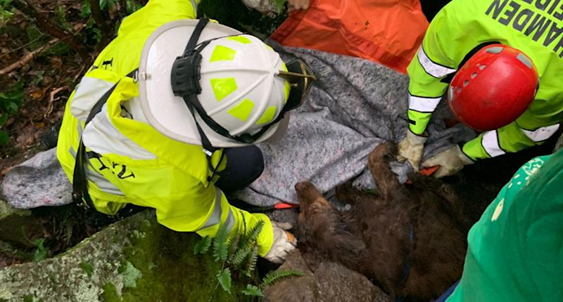 The fire department pulls Sadie, a Chesapeake Bay Retriever, is rescued by fire fighters from a ravine in Sleeping Giant State Park. She was missing for five days.