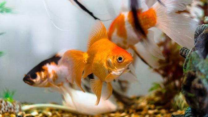 Ilustrasi ikan mas (pixabay.com)