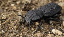 不怕被踩、連車子輾過都能活著!「惡魔鐵甲蟲」可承受身體近4萬倍重量