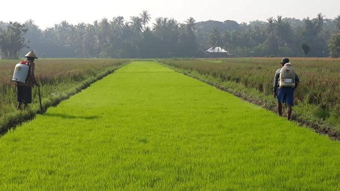 Pelaksanaan program Kementerian Pertanian (Kementan) yaitu Pengembangan Benih Padi Berbasis Korporasi Petani. (Dok Kementan)
