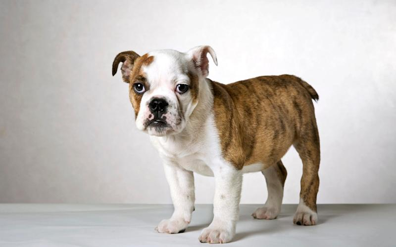 Bulldogs are a symbol of Britain's fighting spirit - Arterra