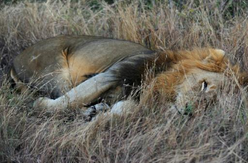 A lion at Kruger National Park in South Africa where there are just 3,000 lions in the wild in the country's parks