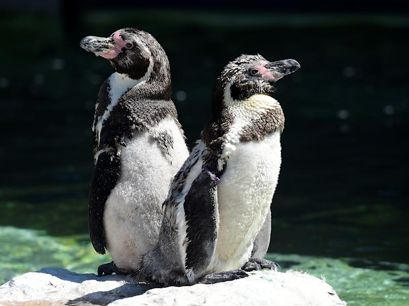 A pair of Humboldt penguins, usually found in South America, sunbathe at Folly Farm and Zoo, Begelly, Pembrokeshire, Wales, Britain. July 25, 2019. REUTERS/Rebecca Naden