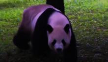 大熊貓添添慶23歲生日 熊貓寶寶逐漸獨立
