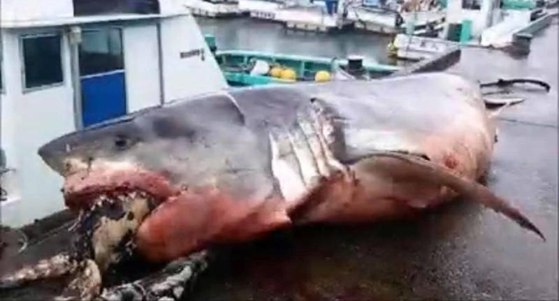 This 2,000kg great white shark apparently bit off more than it could chew.