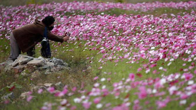 Seorang pengunjung yang mengenakan masker mengambil gambar bunga cosmos yang bermekaran di Paju, Korea Selatan pada 14 Oktober 2020. (AP Photo/Lee Jin-man)