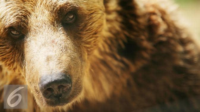 Warga Kampung Sengkemang Cemas, 2 Beruang Madu Bertamu Tanpa Diundang