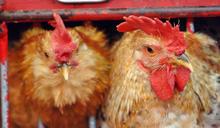 波蘭部分地區爆H5N8禽流感 港暫停進口禽類產品