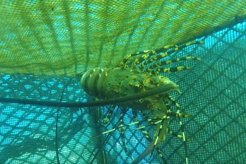 KKP sebut pelepasliaran dapat buat kawasan penuh komoditas lobster
