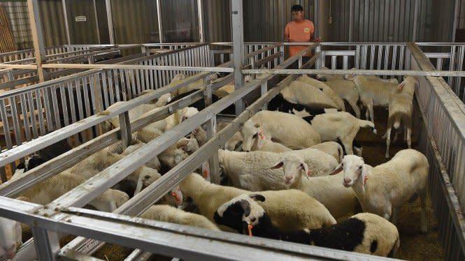 Ini Panduan Menyembelih Daging Kurban saat Idul Adha dari WHO