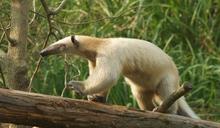 小食蟻獸逃跑了!北市動物園發起民眾協尋 憂月底「存活機率將大幅降低」