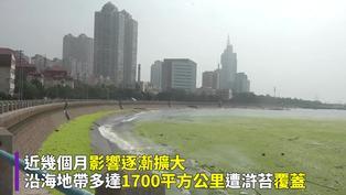 山東青島綠藻災害15年最嚴重 覆蓋百萬噸臭氣沖天