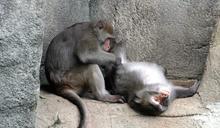 「猿」、「猴」傻傻分不清? 有無尾巴最容易區分