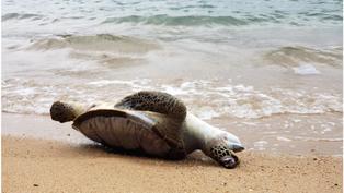香港海龜「吞下了塑膠手套」, 海洋污染中求生的瀕臨物種