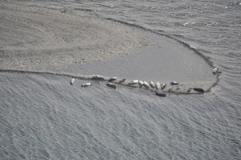 In this June 17, 2011, photo provided by NOAA Fisheries are freshwater seals at Iliamna Lake, in Alaska. An environmental group is petitioning the federal government to list a population of freshwater Alaska seals under the Endangered Species Act. The Center for Biological Diversity on Thursday, Feb. 6, 2020, petitioned to provide protections to harbor seals that live at Iliamna Lake in southwest Alaska. (Dave Withrow/NOAA Fisheries via AP)