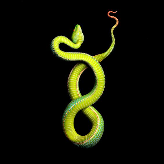 Laita Serpentine