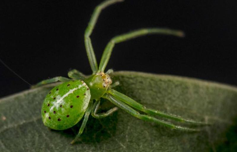 Queensland Cooloola Coast BioBlitz spider was named after prince of darkness Baalzebub.